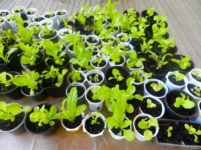 Les jeunes salades qui ont poussé sur le balcon de Céline